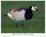 Barnacle Goose (Branta leucopsis) by Ian 2