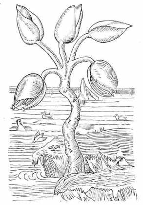 Barnacle Goose (Branta leucopsis) by Ian 3