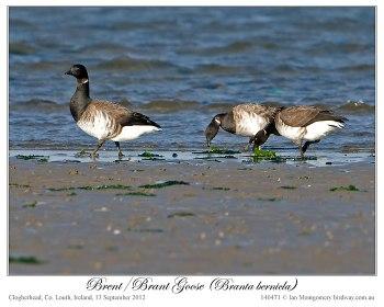 Brent/Brant Goose (Branta bernicla) by Ian 1