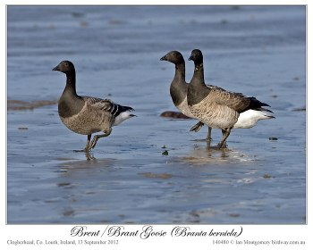Brent/Brant Goose (Branta bernicla) by Ian 2