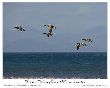 Brent/Brant Goose (Branta bernicla) by Ian 3