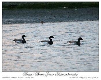 Brent/Brant Goose (Branta bernicla) by Ian 4