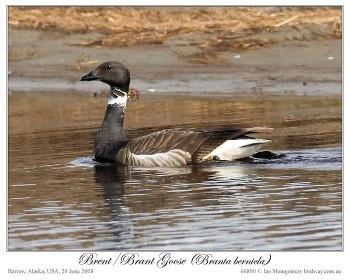 Brent/Brant Goose (Branta bernicla) by Ian 5