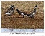 Brent/Brant Goose (Branta bernicla) by Ian 6