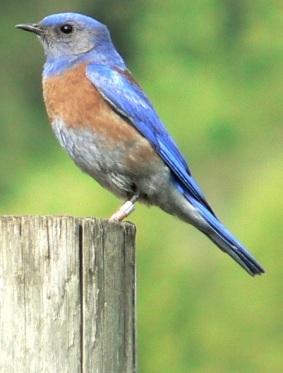 Western Bluebird (Sialia mexicana) ©WikiC
