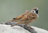 Eurasian Tree Sparrow (Passer montanus) by Nikhil Devasar