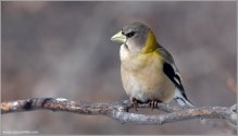 Evening Grosbeak (Hesperiphona vespertina) female by Raymond Barlow