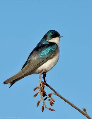 Tree Swallow (Tachycineta bicolor) by J Fenton