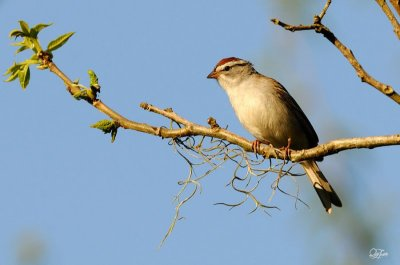 Chipping Sparrow (Spizella passerina)  by Quy Tran