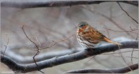 Red Fox Sparrow (Passerella iliaca) by Ray