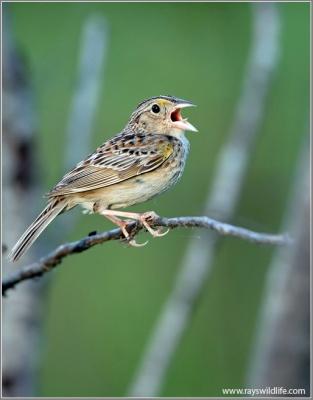 Grasshopper Sparrow (Ammodramus savannarum) by Ray