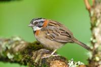 Rufous-collared Sparrow (Zonotrichia capensis) Reinier Munguia