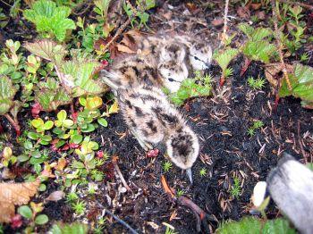 Lesser Yellowlegs (Tringa flavipes) chicks ©WikiC