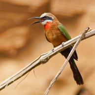 White-fronted Bee-eater (Merops bullockoides) ©WikiC