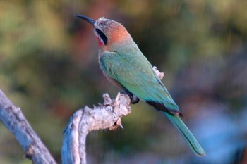 White-fronted Bee-eater (Merops bullockoides) cropped by Bob-Nan