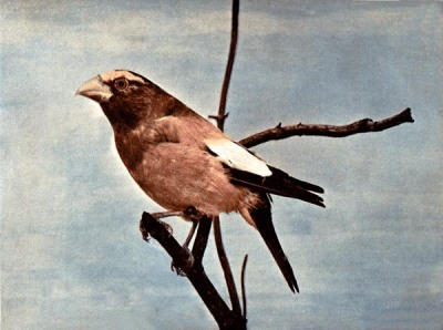 The Evening Grosbeak by Birds Illustrated by Bird Photography, 1897