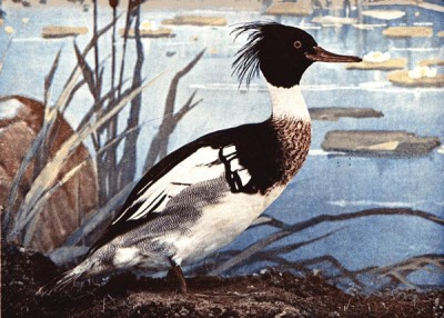 Red-breasted Merganser from Birds Illustrated by Color Photography