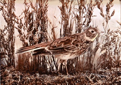 The Skylark - Birds Illustrated by Color Photography From col. F. M. Woodruff.