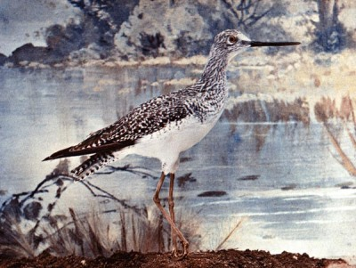 Lesser Yellow Legs for Birds Illustrated by Color Photography - From col. F. M. Woodruff.