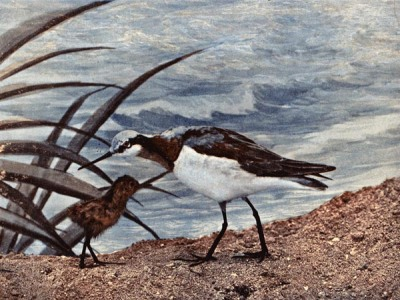 Wilson's Phalarope for Birds Illustrated by Color Photography
