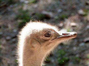 Common Ostrich (Struthio camelus) Head at Riverbanks Zoo SC by Lee