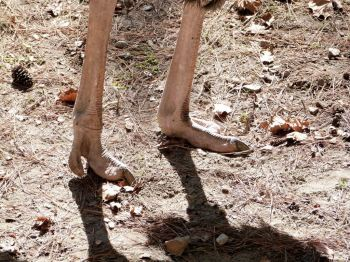 Common Ostrich (Struthio camelus) Foot at Riverbanks Zoo SC by Lee
