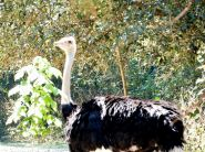 Common Ostrich (Struthio camelus) at Riverbanks Zoo SC by Lee