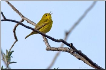 American Yellow Warbler (Dendroica aestiva) by Daves BirdingPix