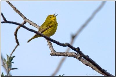 American Yellow Warbler (Setophaga aestiva) by Daves BirdingPix