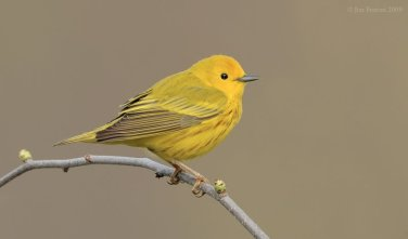 American Yellow Warbler (Dendroica aestiva) by J Fenton
