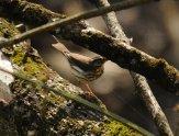 Louisiana Waterthrush (Parkesia motacilla) ©WikiC