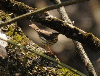 Louisiana Waterthrush (Parkesia motacilla) ©WikiC