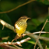 Northern Waterthrush (Parkesia noveboracensis) ©hjhipster