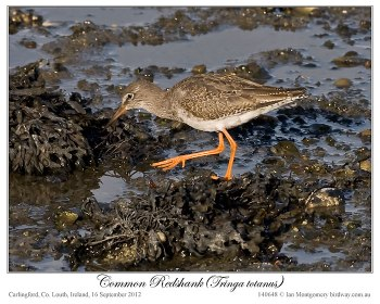 Common Redshank (Tringa totanus) by Ian 1