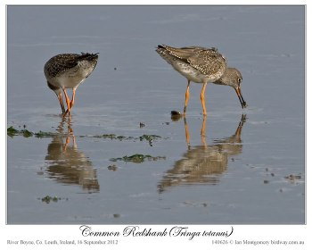 Common Redshank (Tringa totanus) by Ian 2
