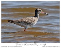 Common Redshank (Tringa totanus) by Ian 3