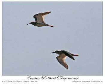 Common Redshank (Tringa totanus) by Ian 4