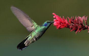 Green Violetear (Colibri thalassinus) ©WikiC