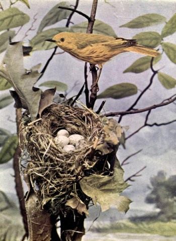 Summer Yellow-Bird for Birds Illustrated by Color Photography, 1897