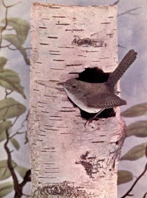 The House Wren for Birds Illustrated by Color Photography, 1897