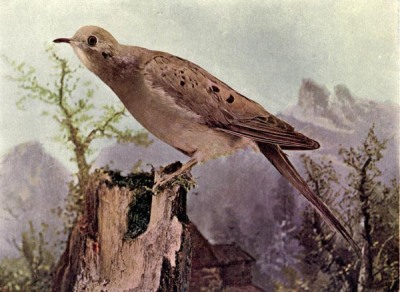 The Mourning Dove for Birds Illustrated by Color Photography, 1897