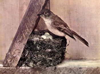 The Phoebe or Birds Illustrated by Color Photography, 1897