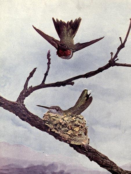 The Ruby-Throated Humming Bird - Vol. 2, No. 3 (1/5)