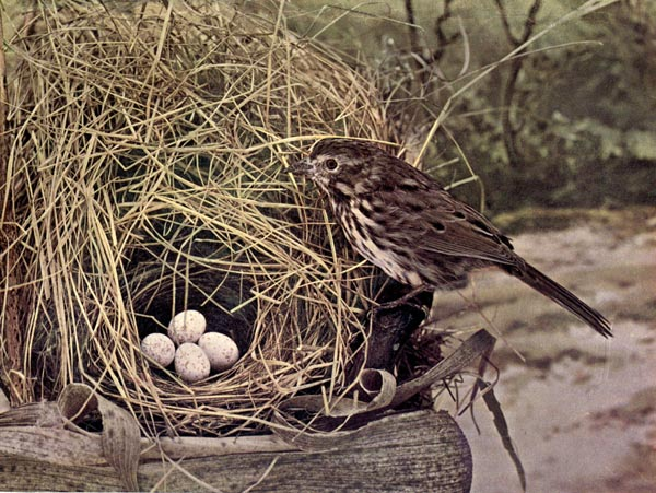 Vol. 2, No. 3 – The Song Sparrow (1/3)