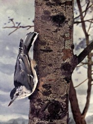 White-breasted Nuthatch or Birds Illustrated by Color Photography, 1897