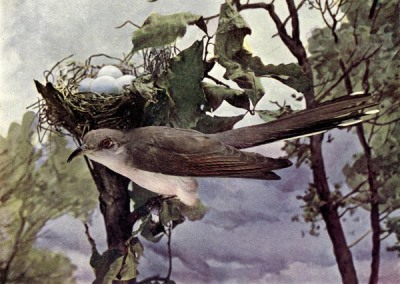 Yellow-billed Cuckoo for Birds Illustrated by Color Photography, 1897
