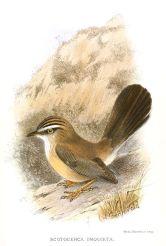 Streaked Scrub Warbler (Scotocerca inquieta) Drawing WikiC