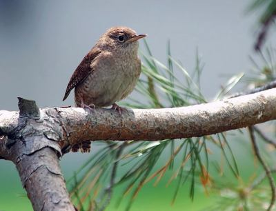 House Wren (Troglodytes aedon) by Ray