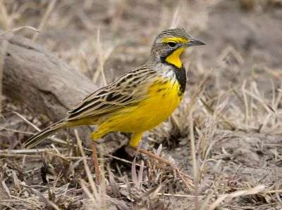 Yellow-throated Longclaw (Macronyx croceus) ©WikiC