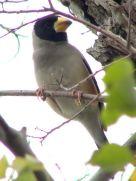 Chinese Grosbeak (Eophona migratoria) ©WikiC